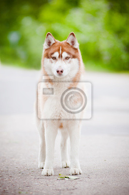 Siberian Husky stehend im Freien