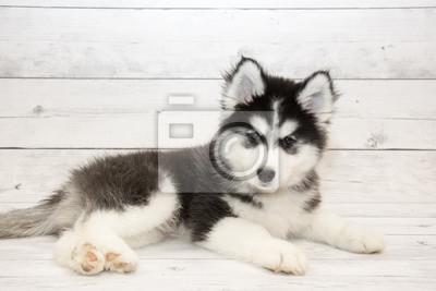 Husky Retro Kühlschrank : Siberian husky hund schwarz und weiß farbe im winter fototapete