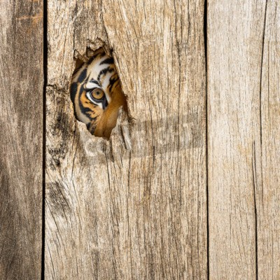 Fototapete Siberian tiger eye in wooden hole in concept of secretly dangerous