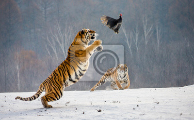 Fototapete Siberian tiger in a jump catches its prey. Very dynamic shot. China. Harbin. Mudanjiang province. Hengdaohezi park. Siberian Tiger Park. Winter. Hard frost. (Panthera tgris altaica)
