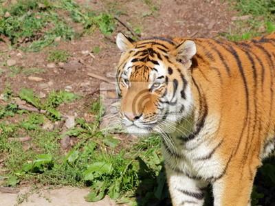 Siberian Tiger Porträt