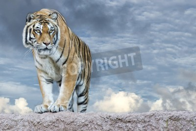 Fototapete Siberian tiger ready to attack looking at you in the rocks background
