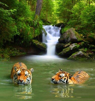 Fototapete Siberian Tigers in water