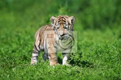 Sibirischen tigerjunge posiert auf gras