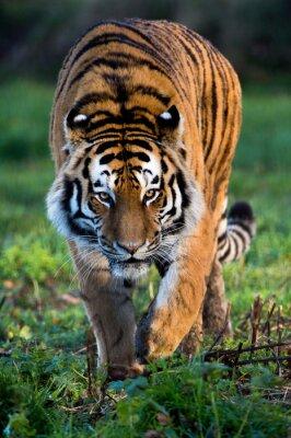 Fototapete Sibirischer Tiger