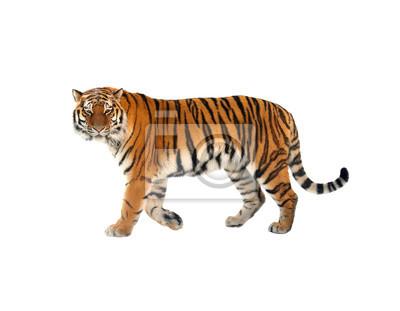 Fototapete Sibirischer Tiger (P. t. Altaica), auch bekannt als Amur-Tiger