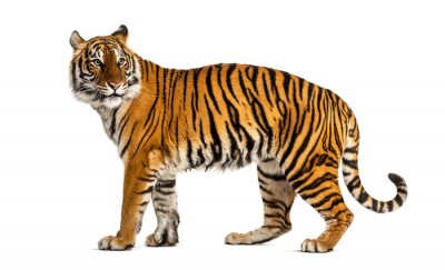 Fototapete Side view, profile of a tiger standing, isolated on white