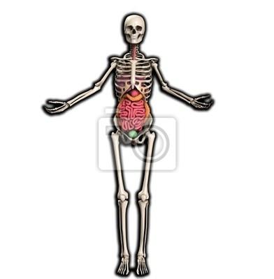 Skelett mit inneren organe fototapete • fototapeten Mut ...