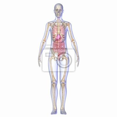 Skelett mit organen fototapete • fototapeten Anhang, Doppelpunkt ...