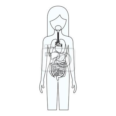 Skizze silhouette der weiblichen person mit internen organe system ...
