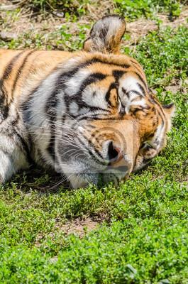 Sleeping Tiger Porträt Close Up