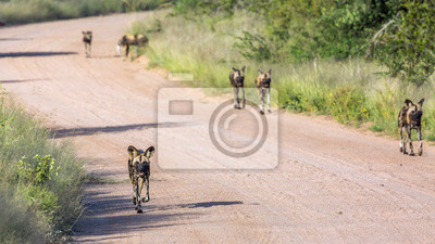 Small group of African wild dog moving on gravel road in Kruger National park, South Africa ; Specie Lycaon pictus family of Canidae