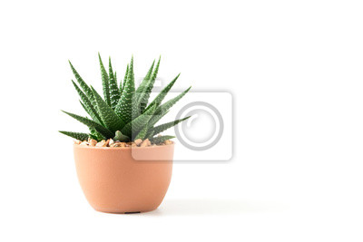 Fototapete Small plant in pot succulents or cactus isolated on white background by front view