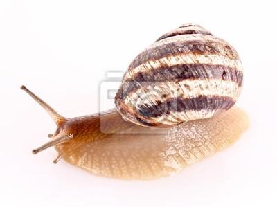 Snail isoliert auf weiß