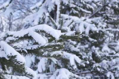 Fototapete Snow covered spruce tree branches outdoors. Winter nature details.