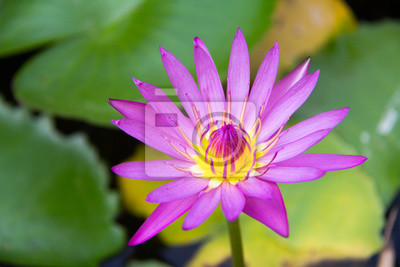 Soft Focus Of Lotus Flower And Soft Color For Background The