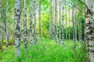 Fototapete Sommerbirkenwaldansicht von Sotkamo, Finnland.