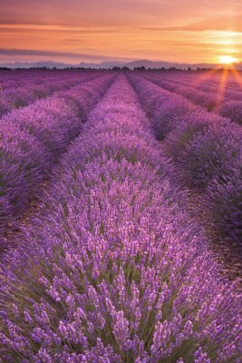 Fototapete Sonnenaufgang über Feldern von Lavendel in der Provence, Frankreich