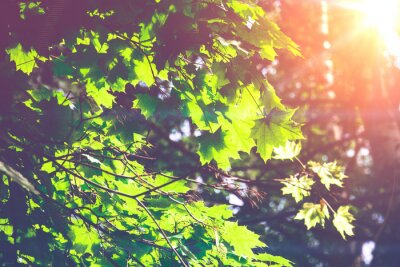 Fototapete Sonnige Grüne Ahornblätter