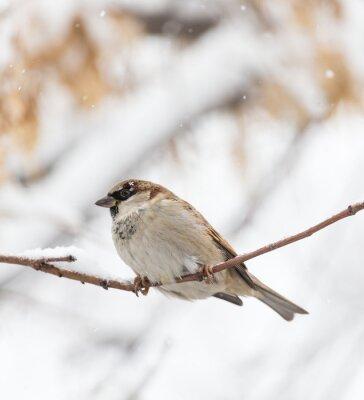 Fototapete Sparrow Winter Natur