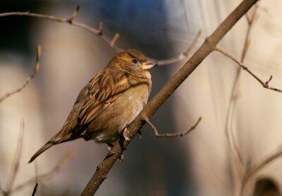 Fototapete Sperling sitzt auf einem Zweig