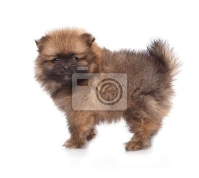 Fototapete Spitz Welpen Pomeranian Welpen Hund Auf Weißem Hintergrund