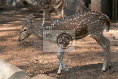 Spotted deer in Dusit Zoo in Bangkok., THAILAND.