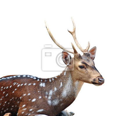 Spotted Hirsch