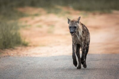 Spotted hyaena running in front view in Kruger National park, South Africa ; Specie Crocuta crocuta family of Hyaenidae