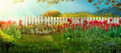 Fototapete Spring garden. Red tulips in garden Spring grass with flowers