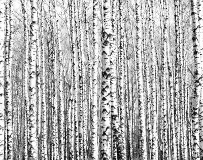 Fototapete Spring trunks of birch trees black and white