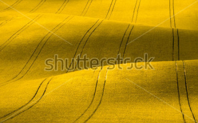 Fototapete Spring Wavy yellow rapeseed field with stripes and wavy abstract landscape pattern. Corduroy summer rural rape landscape.Yellow moravian undulating fields of crops.Yellow Background texture