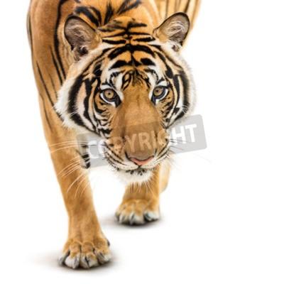 Fototapete Stalking junger sibirischer Tiger isoliert auf weißem Hintergrund