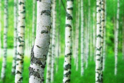 Fototapete Stamm der Birke