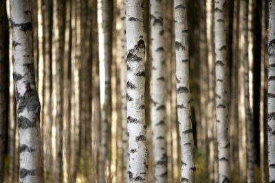 Fototapete Stämme der Birken