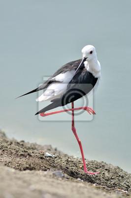 Stelzenläufer Vogel