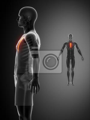 Sternum schwarz x - ray knochen-scan fototapete • fototapeten ...