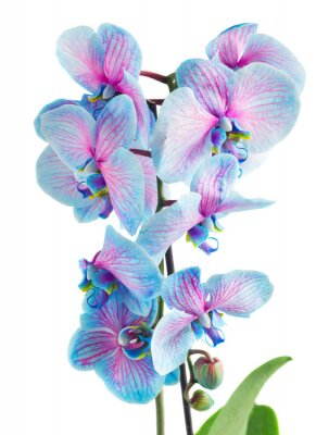 stiel der blauen orchideen fototapete fototapeten sch ne. Black Bedroom Furniture Sets. Home Design Ideas