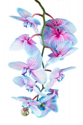 Fototapete Stiel der blauen Orchideen