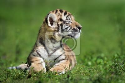 Stolzes kleines amur tigerjunge, das draußen aufwirft