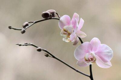 Fototapete Storczyk - Orchidea kaufen