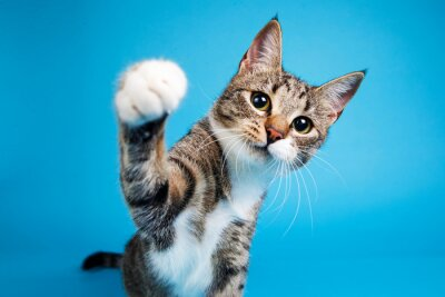 Fototapete Studio shot of a gray and white striped cat sitting on blue background