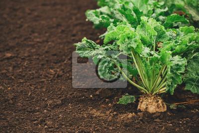 Fototapete Sugar beet root crop organically grown