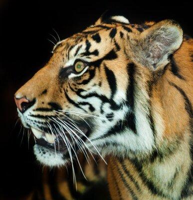 Fototapete Sumatran Tiger