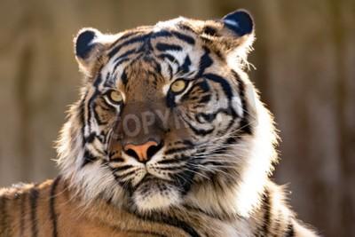 Fototapete Sumatran-Tiger (Panthera tigris sumatrae) ist eine seltene Tiger-Unterart, die die indonesische Insel Sumatra bewohnt