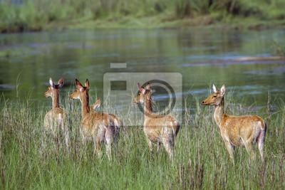 Sumpf-Rotwild im Bardia Nationalpark, Nepal