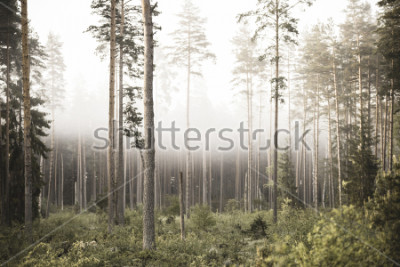 Fototapete sun rising in mist covered forest. sun rays in fog with low visibility - vintage retro look