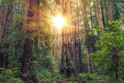 Fototapete Sunny Redwood Forest in Nord-Kalifornien, Vereinigte Staaten von Amerika. Forstwirtschaft.