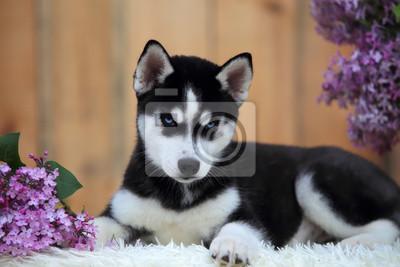 Husky Retro Kühlschrank : Braun siberian husky welpe am meer fototapete u fototapeten