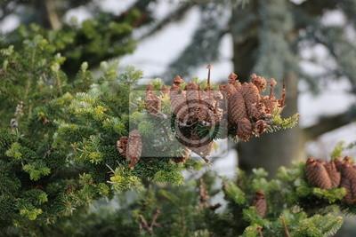 Tannenzapfen auf einem Baum